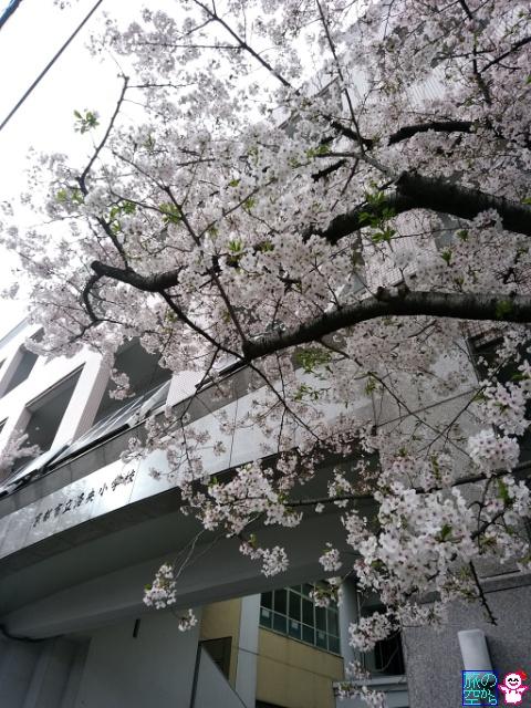 きょうの桜(洛央小学校、高辻東洞院)