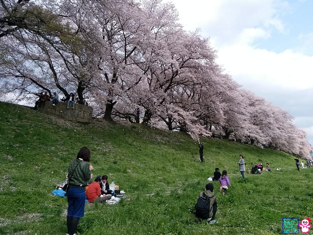 きょうの桜(背割堤)