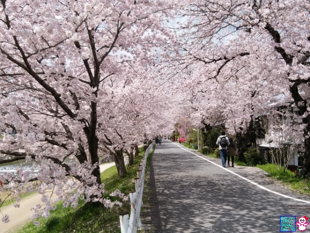 きょうの桜(賀茂川上流)