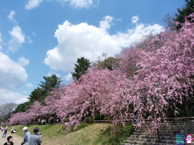 きょうの桜(半木の道)