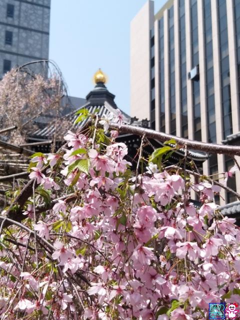 きょうの桜とか(六角堂)