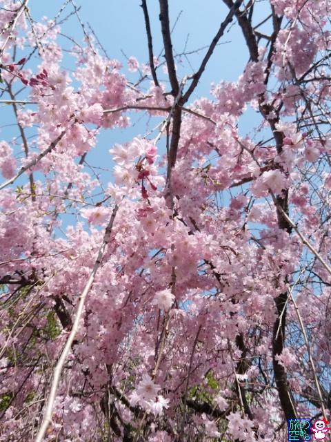 きょうの桜(修徳公園)