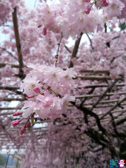 きょうも桜(半木の道、賀茂川)