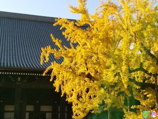 きょうの黄葉(東本願寺前、西本願寺)
