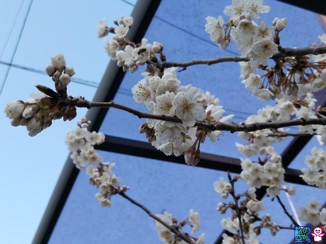 きょうの桜(新町桜)