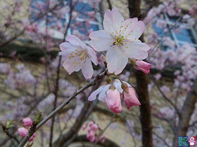 きょうの桜(下京中学校成徳学舎)