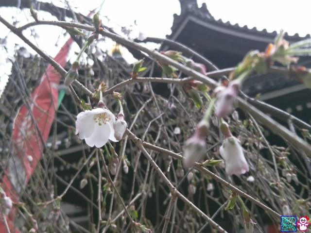 きょうの桜@六角堂。