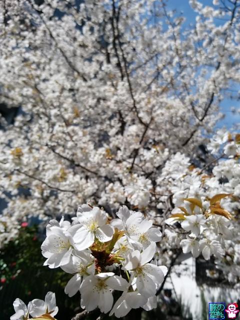 きょうの桜(因幡薬師)