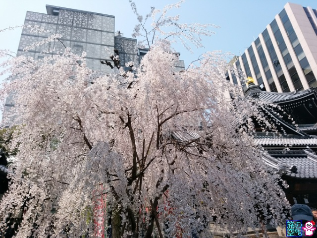 きょうも桜(六角堂)
