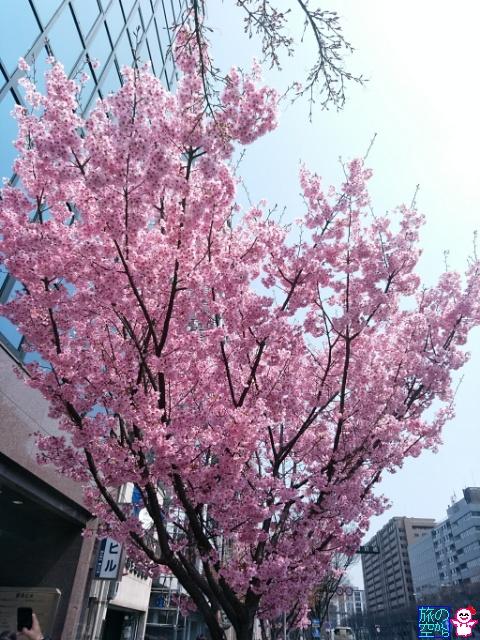 きょうの桜(御池高倉西入)