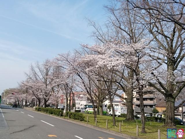 きょうの桜(東本願寺前とその先)