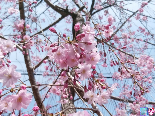 きょうの桜(明倫幼稚園)