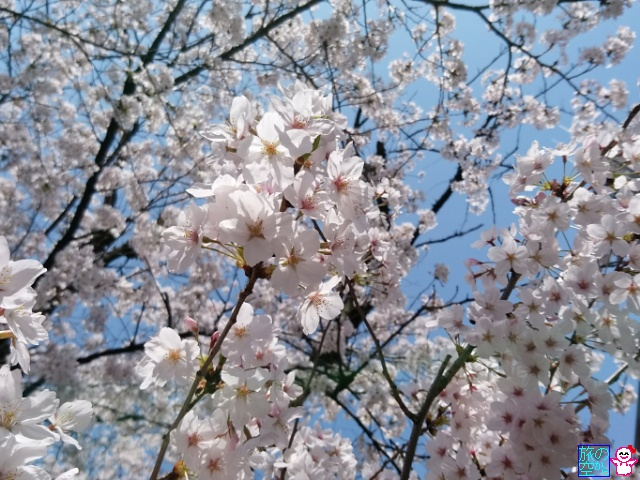 きょうの桜(高辻東洞院)