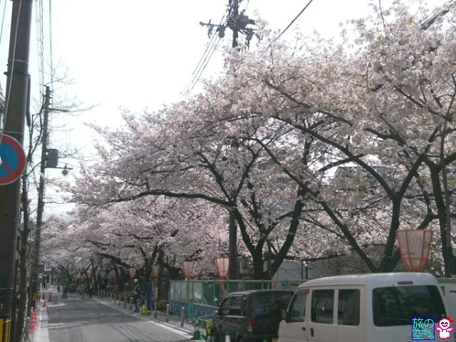 きょうの桜(四条木屋町)