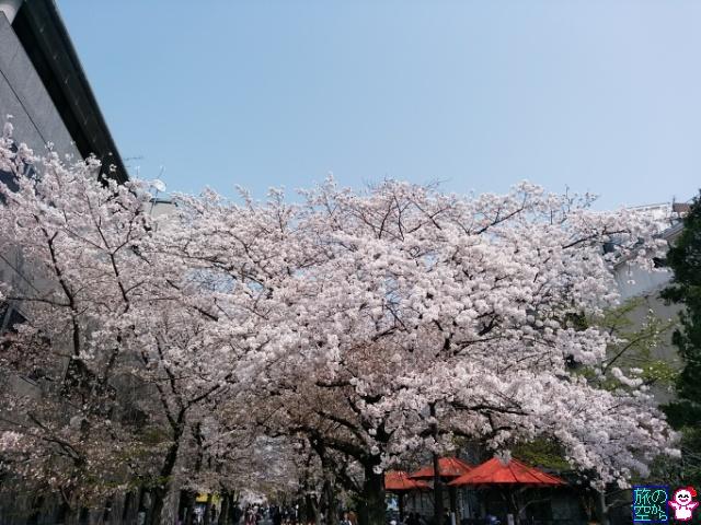きょうの桜(祇園白川)