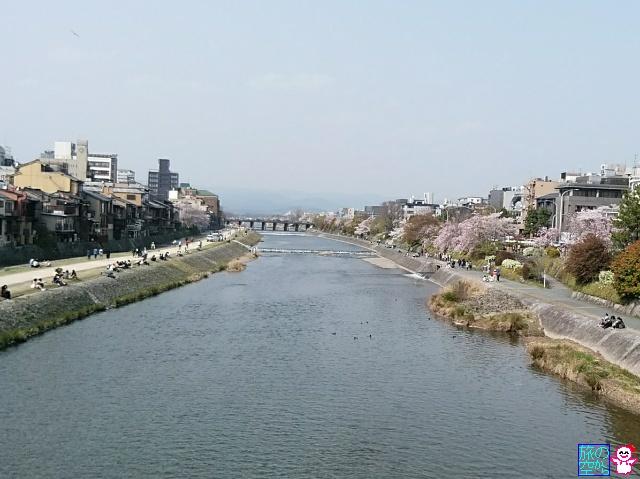 きょうの桜(鴨川四条上ル)