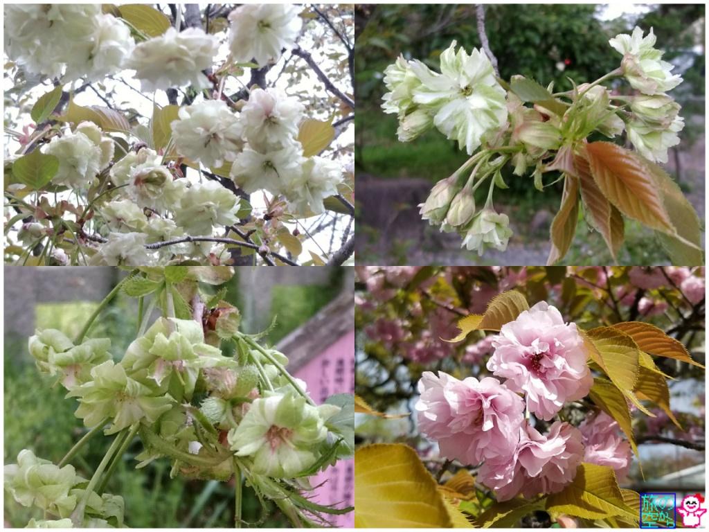 きょうの桜(平野神社)