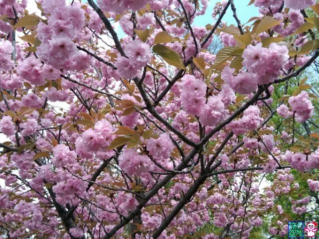 きょうの桜(北野天満宮)