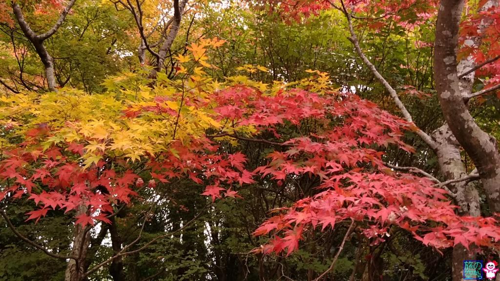 きょうの紅葉(宝筐院)