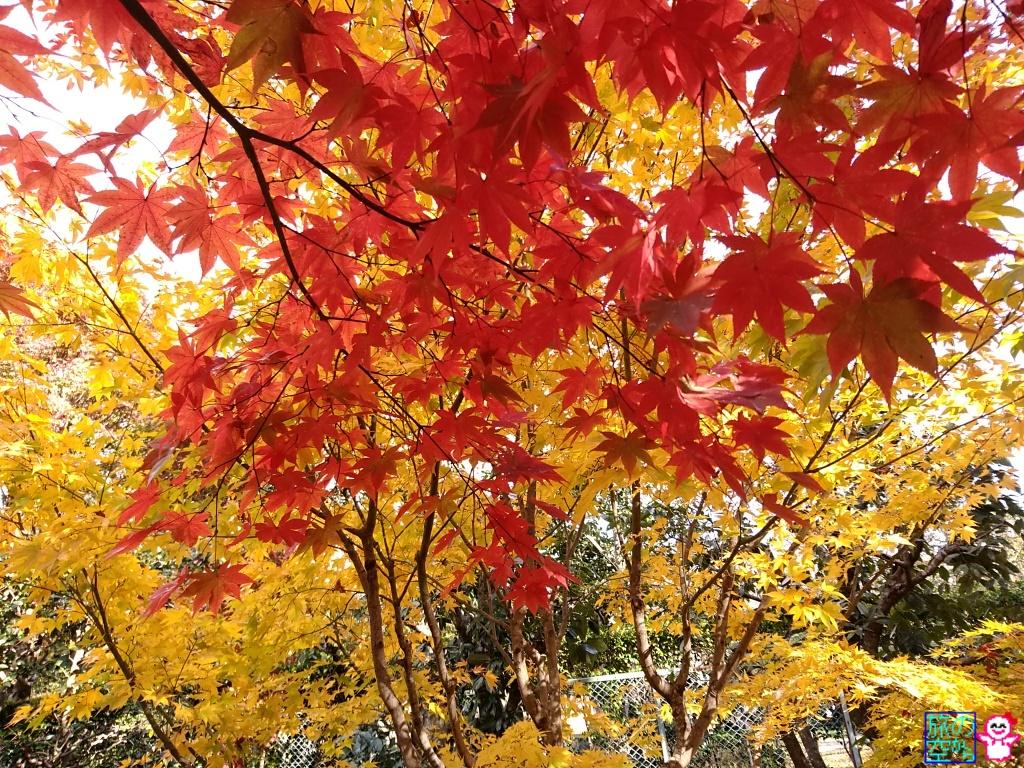 きょうの紅葉(檀林寺)