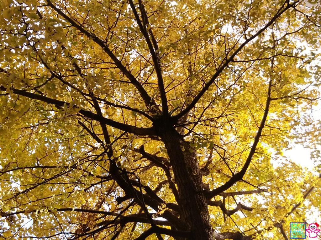 きょうの黄葉(六角堂)