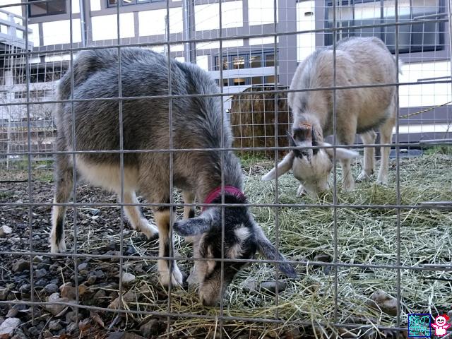 きょうのヤギの赤ちゃん(東本願寺)