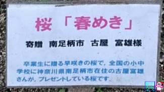 きょうの桜(成徳中学跡)